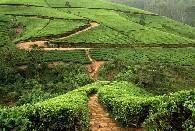 スリランカの紅茶プランテーション