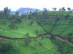 ヌワラエリヤの紅茶畑