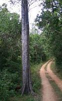 Ebony(黒檀の木)