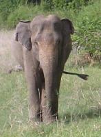 ミネリヤ・ナショナル・パークの野生の象